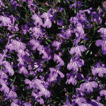 Lobelia Crystal Palace Oz Each Bfg Supply