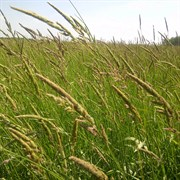 Canary Grass, Chieftan Reed - 50#