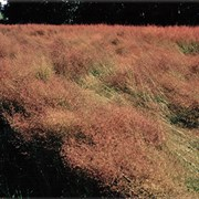 RED TOPHERDS GRASS LB