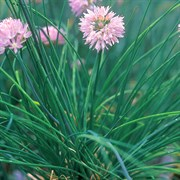 Chives 1/4oz