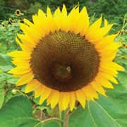 Sunflower, Russian Mammoth 1/2 Lb Each